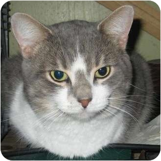 Domestic Shorthair Cat for adoption in Toronto, Ontario - Romeo