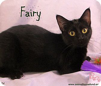 Domestic Shorthair Cat for adoption in St Louis, Missouri - Fairy