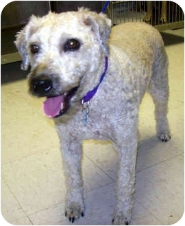 Wheaten Terrier/Terrier (Unknown Type, Medium) Mix Dog for Sale in Troy, Michigan - Keebler