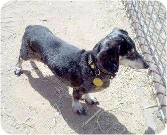 Dachshund Dog for adption in Queen Creek, Arizona - Heidi