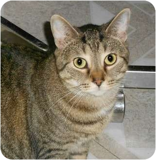 Domestic Shorthair Cat for adoption in Chesapeake, Virginia - Boyd