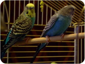 Budgie for Sale in Mantua, Ohio - REX AND RUDY