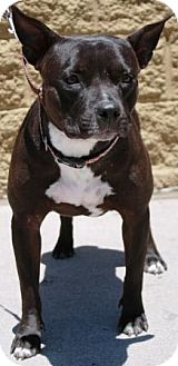 Staffordshire Bull Terrier Mix Dog for Sale in Gilbert, Arizona - Penny Lane