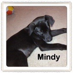 Australian Shepherd/Labrador Retriever Mix Puppy for Sale in Marlton, New Jersey - Baby Mindy