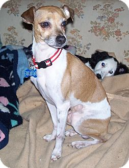 Italian Greyhound Miniature Pinscher Mix