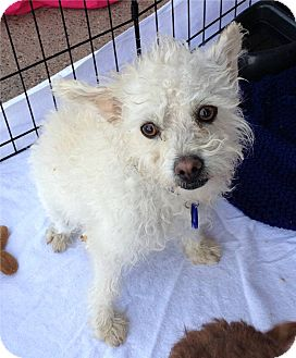 Terrier (Unknown Type, Small) Mix Dog for adption in Chandler, Arizona - Roscoe