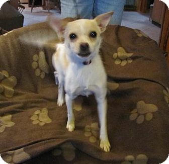 Chihuahua Mix Dog for Sale in Oakland, Arkansas - Fernanda