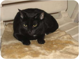 Bombay Cat for Sale in Huffman, Texas - Cleo