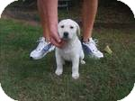 Labrador Retriever/Hound (Unknown Type) Mix Puppy for Sale in Manchester, Connecticut - Snuggles ADOPTION PENDING