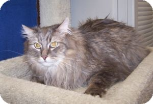 Maine Coon Cat for Sale in Colorado Springs, Colorado - K-Price13-Lainey