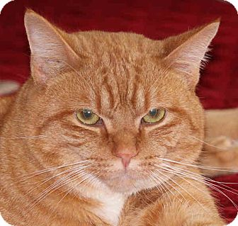 Domestic Shorthair Cat for adoption in Morganton, North Carolina - Simba
