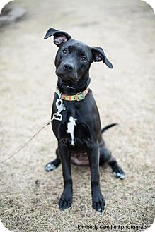 Labrador Retriever/American Pit Bull Terrier Mix Dog for Sale in Detroit, Michigan - Kia-Adopted!