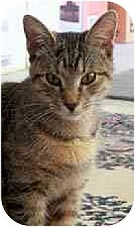 Domestic Shorthair Cat for adoption in Clovis, New Mexico - Tally