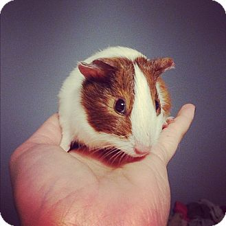 Guinea Pig for Sale in Pittsburgh, Pennsylvania - Joy
