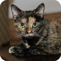 Domestic Shorthair Cat for Sale in Albany, New York - Pasha