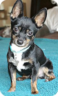 Chihuahua Dog for Sale in Temecula, California - Tyco 4 1/2 lbs