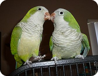 Parakeet - Quaker for adoption in Tampa, Florida - Crash & Boomer