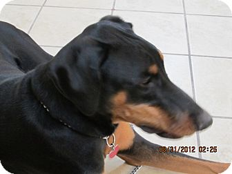 Doberman Pinscher Dog for Sale in El Paso, Texas - TEBOW