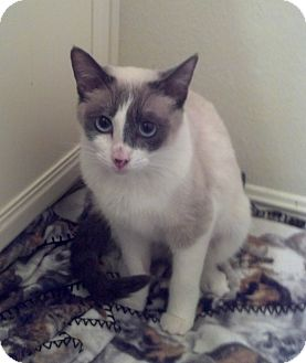 Siamese Cat for adoption in Orange, California - ANNIE ~ Chocolate Point