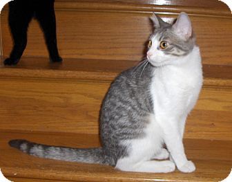 Domestic Shorthair Cat for Sale in Richmond, Virginia - Echo