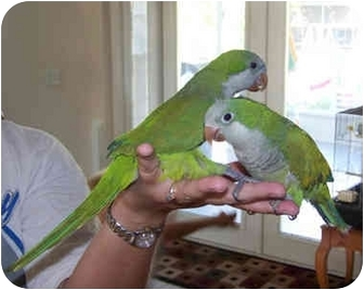Parakeet - Quaker for adoption in Tampa, Florida - Chester & Jack