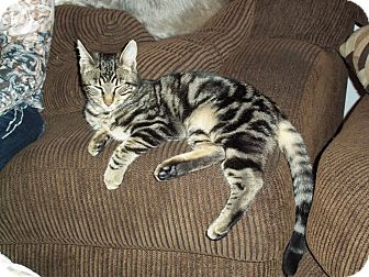Domestic Shorthair Kitten for Sale in Boise, Idaho - Sport