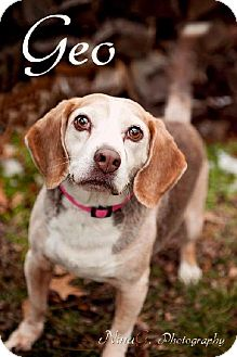 Beagle Dog for adption in Schererville, Indiana - Geo