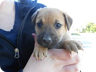 German Shepherd Dog Mix Puppy for Sale in Atascadero, California - Eric