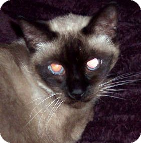 Siamese Cat for Sale in Summerville, South Carolina - Kimmy