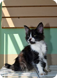Domestic Mediumhair Kitten for Sale in San Diego, California - TUX