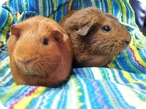 Guinea Pig for Sale in Costa Mesa, California - Daisy and Selena