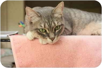 Domestic Shorthair Cat for adoption in Naples, Florida - Gwen