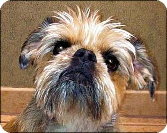 Brussels Griffon Dog for Sale in Los Angeles, California - TESS - ADOPTION PENDING