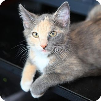 Domestic Shorthair Kitten for Sale in Mississauga, Ontario, Ontario - Lady Guinevere