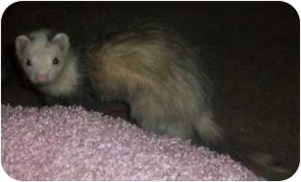 Ferret for Sale in Spokane Valley, Washington - Syd