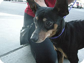 Miniature Pinscher Mix Dog for Sale in Las Vegas, Nevada - Snoop