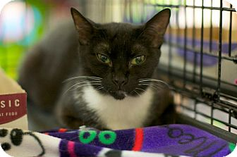 Domestic Shorthair Kitten for adoption in New York, New York - Meowy