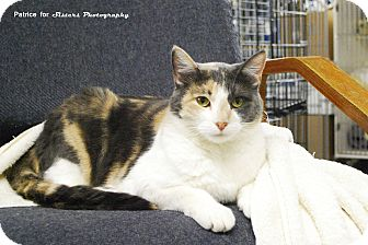 Domestic Shorthair Cat for adoption in Lincoln, Nebraska - Patch
