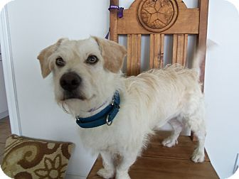Wirehaired Fox Terrier Mix Dog for adption in Corona del mar, California - Spencer