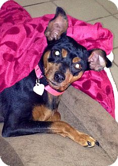 Miniature Pinscher Dog for adption in Ontario, California - Dutchess