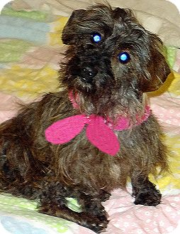 Schnauzer (Miniature)/Dachshund Mix Dog for Sale in Alabaster, Alabama - Sissy: Schnauzer/Dachsund mix