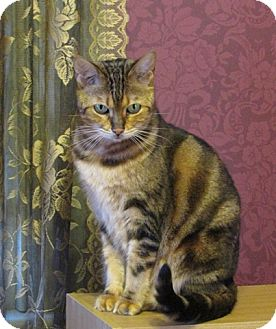 Bengal Cat for adoption in Vacaville, California - Callisto