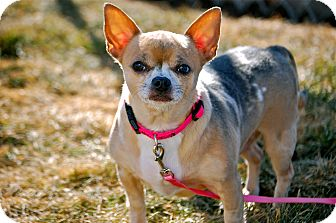 Chihuahua Mix Dog for Sale in Meridian, Idaho - Sandia