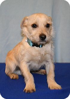 Cairn Terrier Mix Puppy for Sale in Westminster, Colorado - Mustard