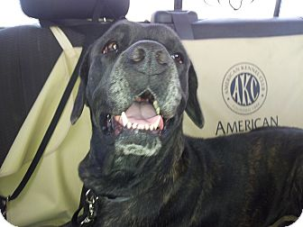 Cane Corso Dog for adption in Boston, Massachusetts - Roxy
