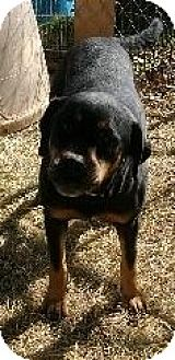 Rottweiler/American Bulldog Mix Dog for adption in Rayville, Louisiana - Tiffah
