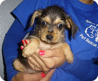 Dachshund/Schnauzer (Miniature) Mix Puppy for Sale in Oviedo, Florida - Shanna