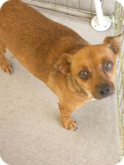 Terrier (Unknown Type, Small) Mix Dog for Sale in Las Vegas, Nevada - Joe Joe
