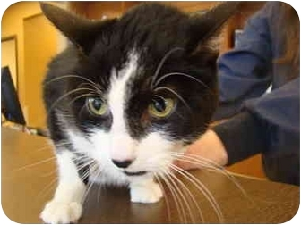 Domestic Shorthair Cat for adoption in Muncie, Indiana - Nibby