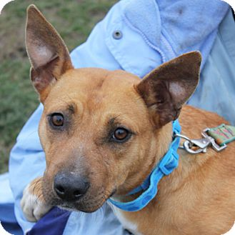 Basenji Mix Dog for adption in Huntley, Illinois - Shelly